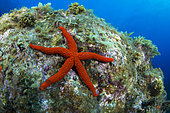 Red starfish (Echinaster sepositus) on the bottom, La Palma, Canary Islands.