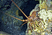 Painted spiny lobster (Panulirus echinatus) on the bottom, La Palma, Canary Islands