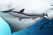 Sharksuckers (Echeneis naucrates) under a ray, Tenerife, Canary Islands