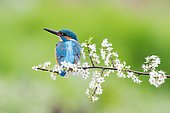 Kingfisher (Alcedo atthis), male on blackthorn branch, Hesse, Germany, Europe
