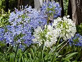 Agapanthus 'Blue Giant', Agapanthus'Alba'