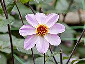 Dahlia 'Hy Halo' in bloom in a garden