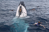 Humpback whale (Megaptear novaeangliae) with divers, Kingdom of Tonga.