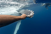 Humpback whale (Megaptear novaeangliae) with diver, Kingdom of Tonga.