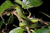 Black-speckled palm-pit viper (Bothriechis nigroviridis) sur uen rbanche, Costa Rica.