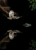 Long-eared Owl (Asio otus) in flioght and reflection, Salamanca, Castilla y León, Spain