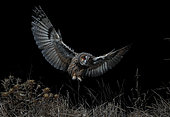 Long-eared Owl (Asio otus) in flight, Salamanca, Castilla y León, Spain
