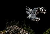 Tawny Owl (Strix aluco) Salamanca, Castilla y León, Spain