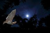 Brown big-eared bat (Plecotus auritus) in flight, Salamanca, Castilla y León, Spain