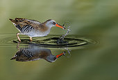 Water rail (Rallus aquaticus) and reflection, Salamanca, Castilla y Leon, Spain. Honorable mention, Montphoto 2018.