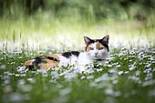 Calico cat (Felis silvestris catus) lying in a meadow with daisies (Bellis perennis), Germany, Europe