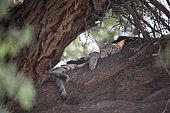 Chat sauvage d'Afrique australe (Felis silvestris cafra) faisant la sieste au creux d'un Acacia, Namibie