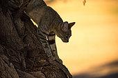 Chat sauvage d'Afrique australe (Felis silvestris cafra) descendant d'un Acacia, Afrique du sud