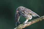 Little Owl (Athene noctua) from capturing a vole, Belgium