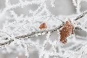 Feuille de Hêtre commun (Fagus sylvatica) couverte de givre, Ardennes