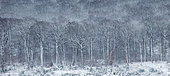 Hêtraie à Luzule couverte de givre et neige, Ardenne, Belgique