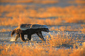 Ratel (Mellivora capensis) running, Namibia