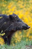 Portrait of Wild boar (Sus scrofa), Ardennes