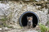 Red fox (Vulpes vulpes) young in a rainwater pipe collector, Doubs, Franche-Comté, France