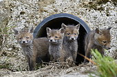 Red fox (Vulpes vulpes) youngs in a rainwater pipe collector, Doubs, Franche-Comté, France