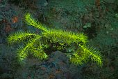 Fluorescent Bristly Crab (Pilumnus hirtellus), Piran, Slovenia