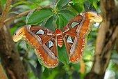 Atlas moth (Attacus atlas), habitat Thailand, Asia