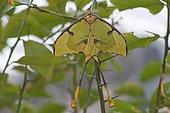 Moon moth (Actias sp.), captive, Emsland, Lower Saxony, Germany, Europe