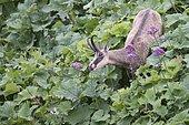 Chamois (Rupicapra rupicapra), Vosges, Alsace-Lorraine, France, Europe