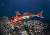 Red gurnard, Aspitrigla cuculus. Composite image. Portugal.. Composite image