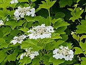 Viburnum plicatum 'Awa Fuski'
