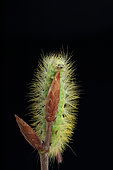 Pale Tussock (Calliteara pudibunda) caterpillar on a bud on black background