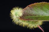 Pale Tussock (Calliteara pudibunda) caterpillar on a leaf on black background