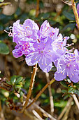 Rhododendron 'Blue Diamond' in bloom in a garden
