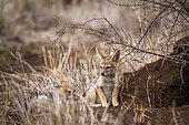 Chacal à chabraque (Canis mesomelas) jeunes près du terrier, Kruger, Afrique du Sud