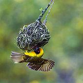 Southern Masked Weaver (Ploceus velatus) in Kruger National park, South Africa
