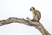 Vervet monkey (Chlorocebus pygerythrus) on a branch, Kruger National park, South Africa