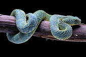 Bush viper (Atheris squamigera) from Congo on black background