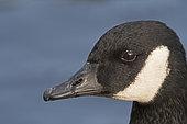 Canada Goose (Branta canadensis), Bushy Park, London, England