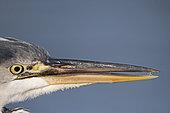 Portrait of Grey Heron (Ardea cinerea), Bushy Park, London, England