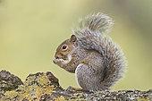 Grey -Eastern Gray Squirrel- Squirrel (Sciurus carolinensis) eating sweet chestnut, Bushy Park, London, England