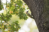 Green Woodpecker (Picus viridis) male on a trunk, Surrey, England