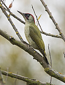 Green Woodpecker (Picus viridis) male on a branch, Surrey, England