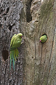 Rose-ringed Parakeet (Psittacula krameri), Bushy Park, Greater London, England
