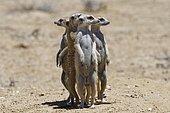 Standing meerkats (Suricatta suricata), on guard, Kgalagadi Transfrontier Park, Northern Cape, South Africa, Africa