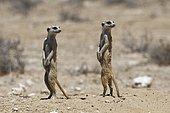 Meerkats (Suricatta suricata), standing at burrow, alert, Kgalagadi Transfrontier Park, Northern Cape, South Africa, Africa