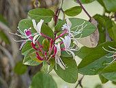 Lonicera japonica 'Sinensis'