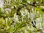 Lonicera japonica 'Halliana'