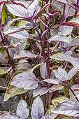 Ocimum basilicum purpurascens