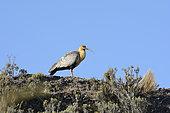 Black-faced Ibis (Theristicus melanopis), Parque Patagonia, Valle Chacabuco, XI Region of Aysén, Chile