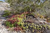 Drosera (Drosera uniflora), Tortel, Chilean Patagonia, XI Region of Aysén, Chile